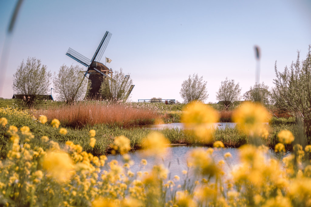 Yellow flowers and a Dutch windmill in the background
